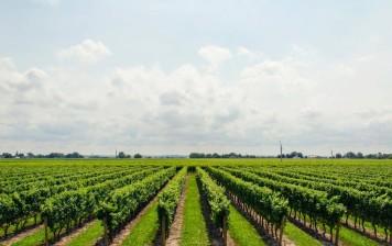 Nebbiolo D'Alba Doc: la storia di uno dei vini più